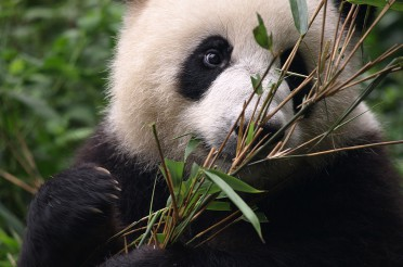 Panda Aufzuchtprogramm Chengdu
