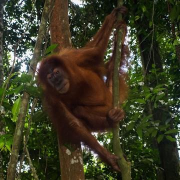 Sumatra / Gunung Leuser Nationalpark